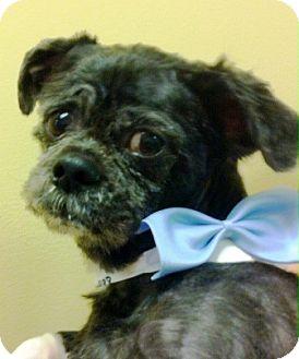 Shih Tzu/Poodle (Miniature) Mix Dog for adoption in Oswego, Illinois - Finnegan