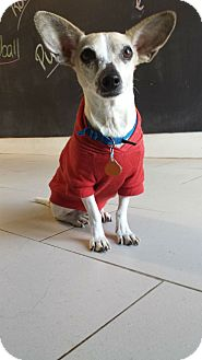 Chihuahua Mix Dog for adoption in Philadelphia, Pennsylvania - Moby
