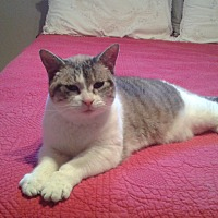Domestic Shorthair Cat for adoption in Cambridge, Ontario - Bunny