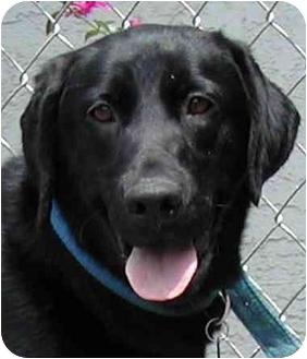 Labrador Retriever Dog for adoption in El Segundo, California - Kitty