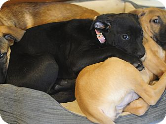 Labrador Retriever/Boxer Mix Puppy for adoption in Eden Prairie, Minnesota - Lolly