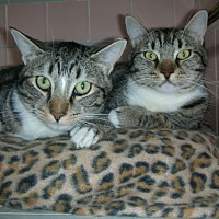 Domestic Shorthair Cat for adoption in Midway City, California - Benny and Lucas