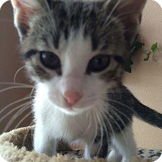 Domestic Shorthair Kitten for adoption in Tampa, Florida - Bixler