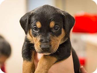 Foxhound Mix Puppy for adoption in Dallas, Texas - Roderick