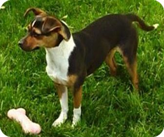 Rat Terrier/Beagle Mix Puppy for adoption in Union Grove, Wisconsin - Maleficent-PENDING