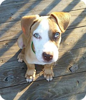 Boxer Mix Puppy for adoption in Ahoskie, North Carolina - Mozart