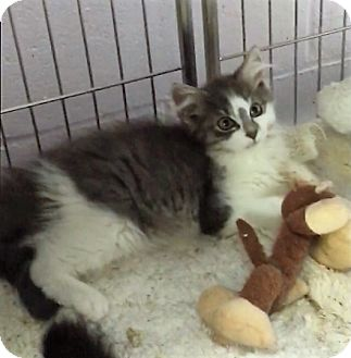 Domestic Longhair Kitten for adoption in River Edge, New Jersey - Angelica