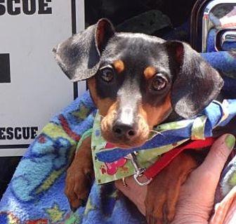 Dachshund/Miniature Pinscher Mix Puppy for adoption in Portland, Oregon - NICKY (Nicholas)