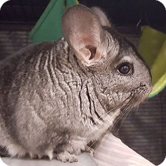 Chinchilla for adoption in Patchogue, New York - Smokey
