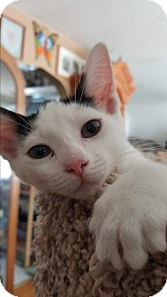 Domestic Shorthair Kitten for adoption in Pottstown, Pennsylvania - Bess