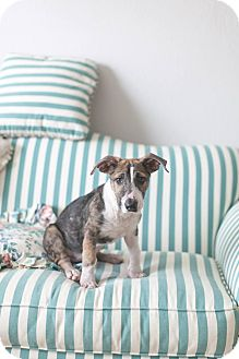 Corgi/Bull Terrier Mix Puppy for adoption in Vancouver, British Columbia - Abbie