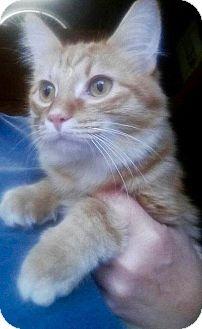 Domestic Shorthair Cat for adoption in Danbury, Connecticut - Pheonix