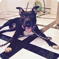 American Pit Bull Terrier Mix Dog for adoption in Richmond, Virginia - Harley