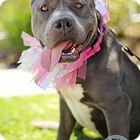 Pit Bull Terrier Dog for adoption in Redondo Beach, California - Blue Velvety Velvet