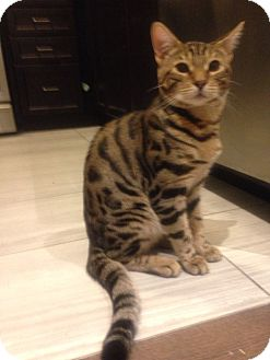 Bengal Kitten for adoption in THORNHILL, Ontario - SABLE