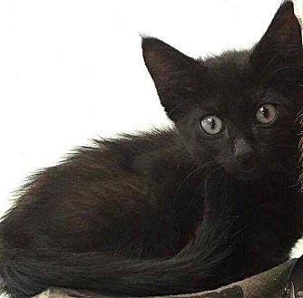 Domestic Shorthair Kitten for adoption in Woodstock, Georgia - Ace