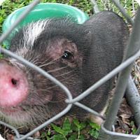 Adopt A Pet :: PB-Pig (m) - Christmas, FL