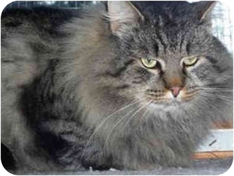 Maine Coon Cat for adoption in Colmar, Pennsylvania - Charlie