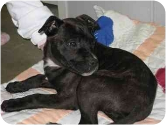 Pit Bull Terrier/Boxer Mix Puppy for adoption in Florence, Indiana - Lola