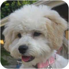 Bichon Frise Mix Puppy for adoption in La Costa, California - Meggie