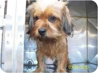 Brussels Griffon/Maltese Mix Dog for adoption in Pembroke pInes, Florida - Bam Bam