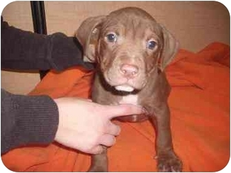 Pit Bull Terrier/Beagle Mix Puppy for adoption in Howell, Michigan - Casey