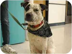 American Staffordshire Terrier/Dalmatian Mix Dog for adoption in Houston, Texas - Milo