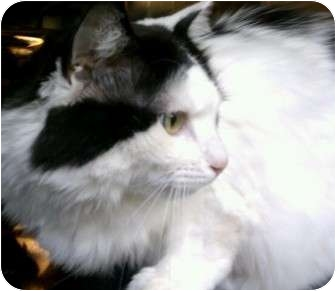 Domestic Longhair Cat for adoption in Maryville, Tennessee - Magnolia (Maggie)