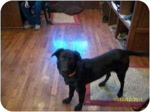 Labrador Retriever Mix Puppy for adoption in Bay City, Michigan - Bella (2)~~adopted 12/2011~~