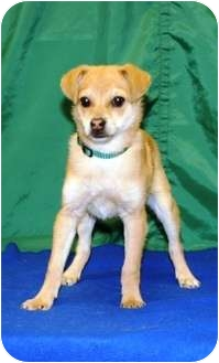 Shiba Inu/Spitz (Unknown Type, Small) Mix Puppy for adoption in Westminster, Colorado - BUTTERS
