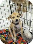 Australian Shepherd/Terrier (Unknown Type, Small) Mix Puppy for adoption in Simi Valley, California - Lila