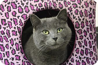 Russian Blue Cat for adoption in Maxwelton, West Virginia - Edward