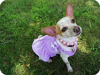 Chihuahua Mix Dog for adoption in Seymour, Connecticut - PRINCESS