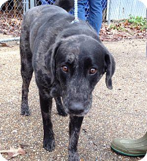 Labrador Retriever/Catahoula Leopard Dog Mix Dog for adoption in Groton, Massachusetts - Wrigley