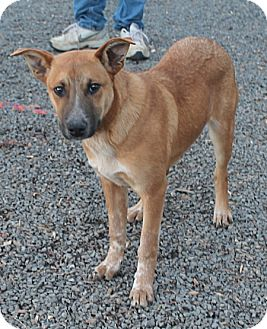 Black Mouth Cur Dog for adoption in Marble, North Carolina - Lou