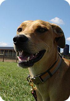 Boxer/Greyhound Mix Dog for adoption in Russellville, Kentucky - Baxter