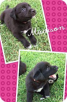 Cattle Dog Mix Puppy for adoption in Jacksonville, North Carolina - Madison