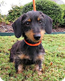 Dachshund Mix Dog for adoption in McKinney, Texas - Martini