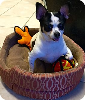 Chihuahua Dog for adoption in Phoenix, Arizona - Fatty Patty