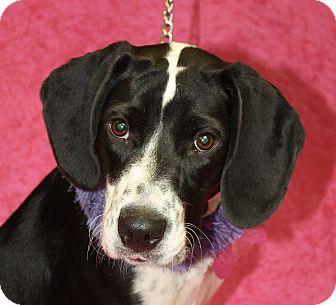 English Springer Spaniel/Beagle Mix Dog for adoption in Jackson, Michigan - Alice