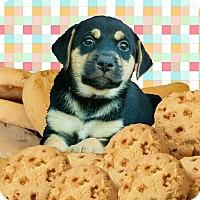 Adopt A Pet :: Toffeetastic - Austin, TX