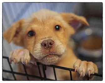 Golden Retriever/Terrier (Unknown Type, Medium) Mix Puppy for adoption in Freeport, New York - Teddy Bear