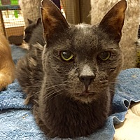 Domestic Shorthair Cat for adoption in Wilmington, Delaware - Ebenezer