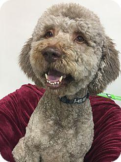 Labradoodle Mix Dog for adoption in Fort Atkinson, Wisconsin - Elvis Doodle