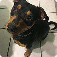 Adopt A Pet :: Hagrid - Evansville, IN