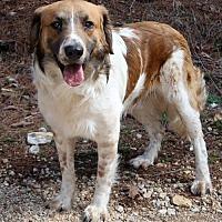 Adopt A Pet :: Tanner - Brattleboro, VT