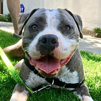 Adopt A Pet :: Ringo - Mission Hills, CA