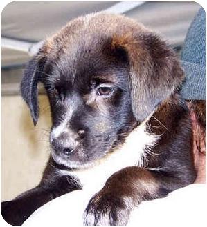 English Pointer/Pointer Mix Puppy for adoption in El Segundo, California - Jasmine