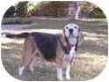 Beagle Mix Dog for adoption in Phoenix, Arizona - Gus