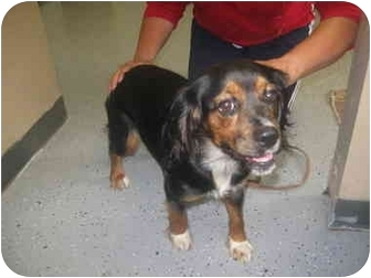 Cocker Spaniel/Cavalier King Charles Spaniel Mix Dog for adoption in Naperville, Illinois - India